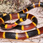 Introduction to New World Coralsnakes