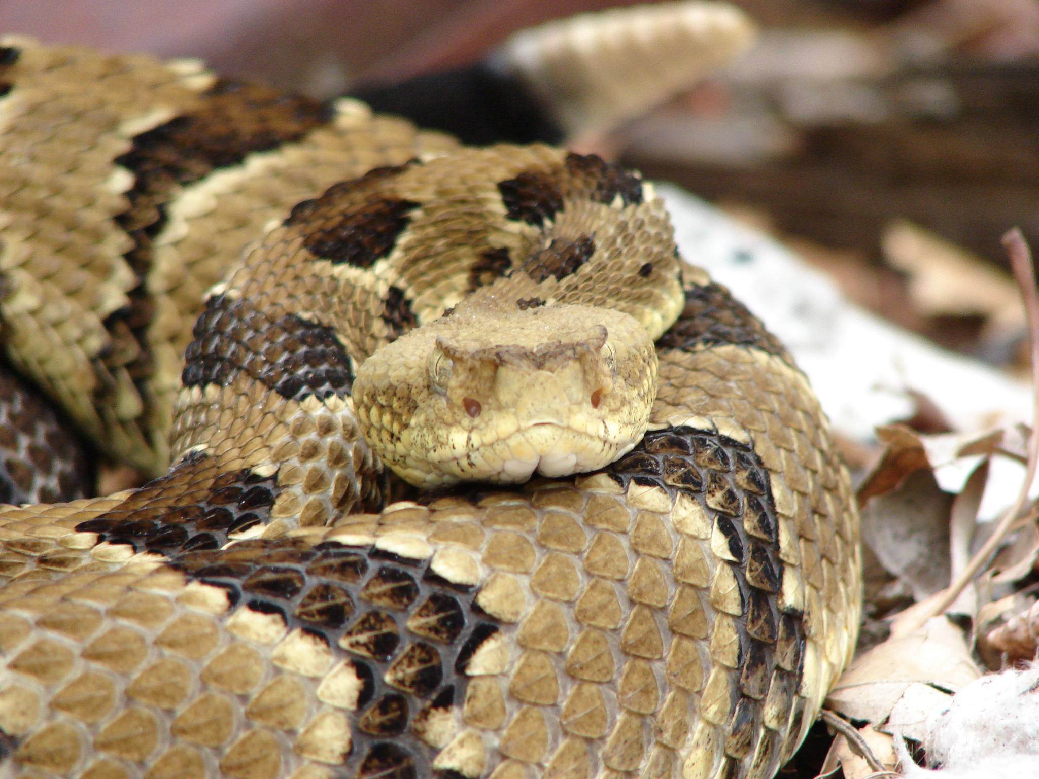 Snakebite Management (in hospital) – Pit Vipers – Wild