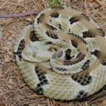 Timber Rattlesnake (Crotalus horridus)© 2005 John White
