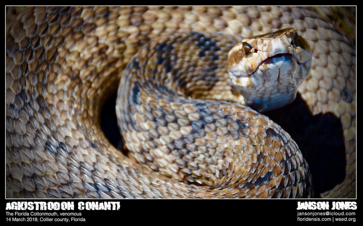 Beneath the Palms: The Florida Cottonmouth – Wild Snakes : Education