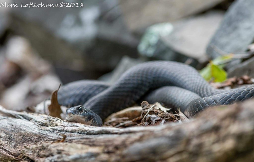 Northern Black Racer (Coluber constrictor) found at a multi species den site in Connecticut October 2018, Mark Lotterhand.