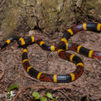 Introduction to U.S. Coralsnakes