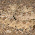crotalus cerastes (sidewinder)